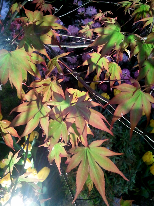 Colourful Japanese maple leaves